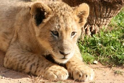 cheetah-40
