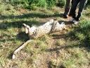 cheetah-34
