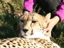 cheetah-35