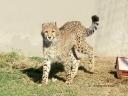 cheetah-38